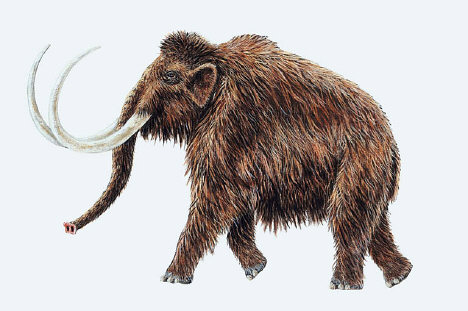 Mammuthus primigenius (Woolly Mammoth)