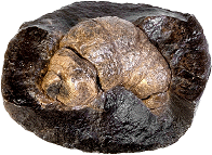 Coprolite (fossilized dung)