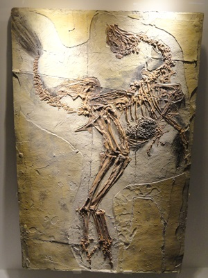 Fossil Caudipteryx with feathers