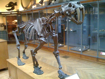 Smilodon skeletion